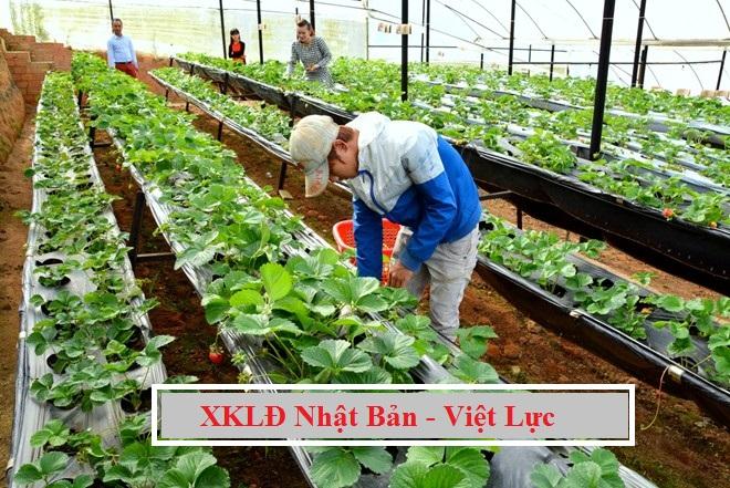Tuyển gấp 03 nam làm nông nghiệp trồng hoa, rau tại Nagano Nhật Bản